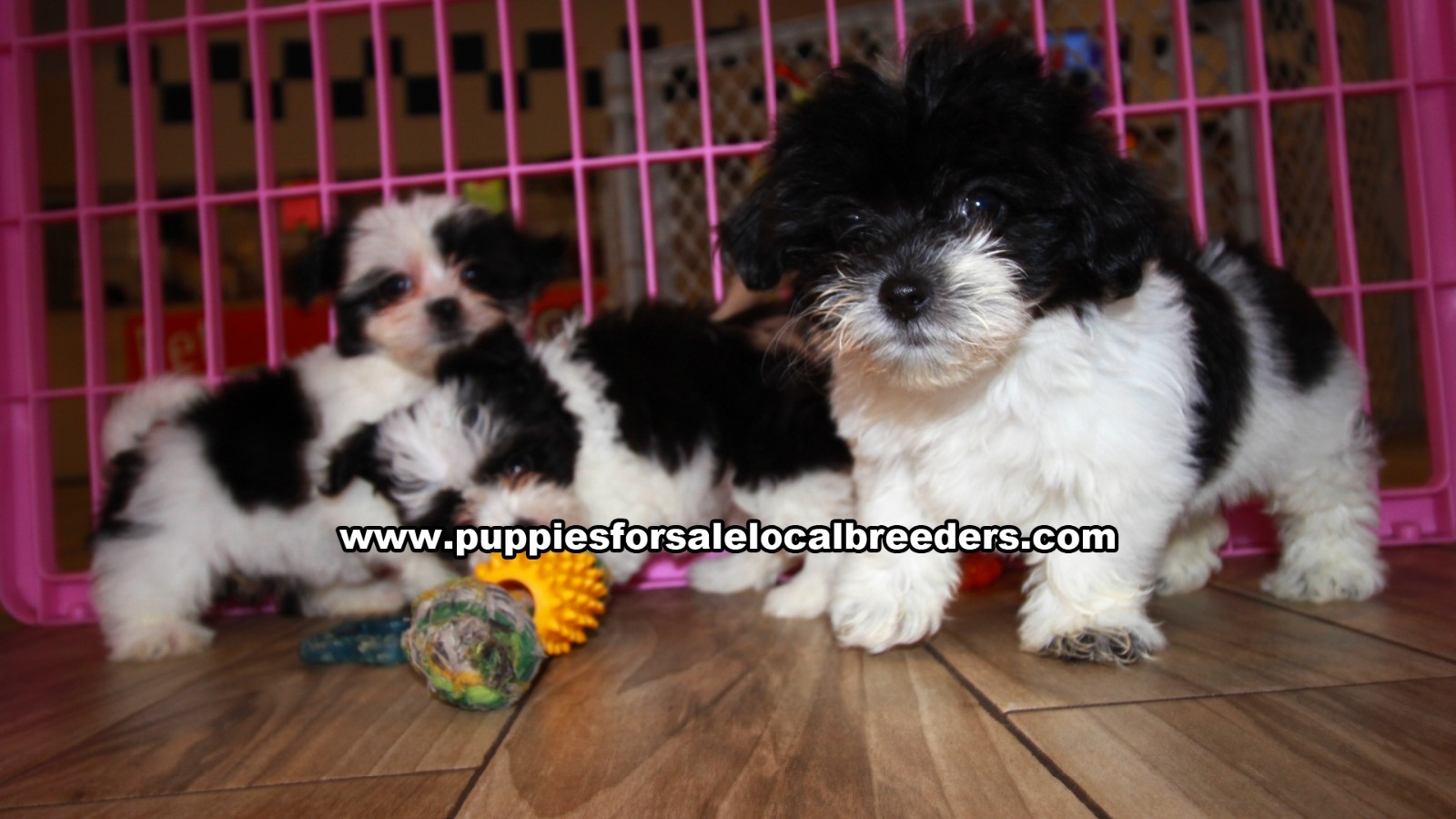 Morkie, Puppies For Sale In Georgia, Local Breeders, Near Atlanta, Ga