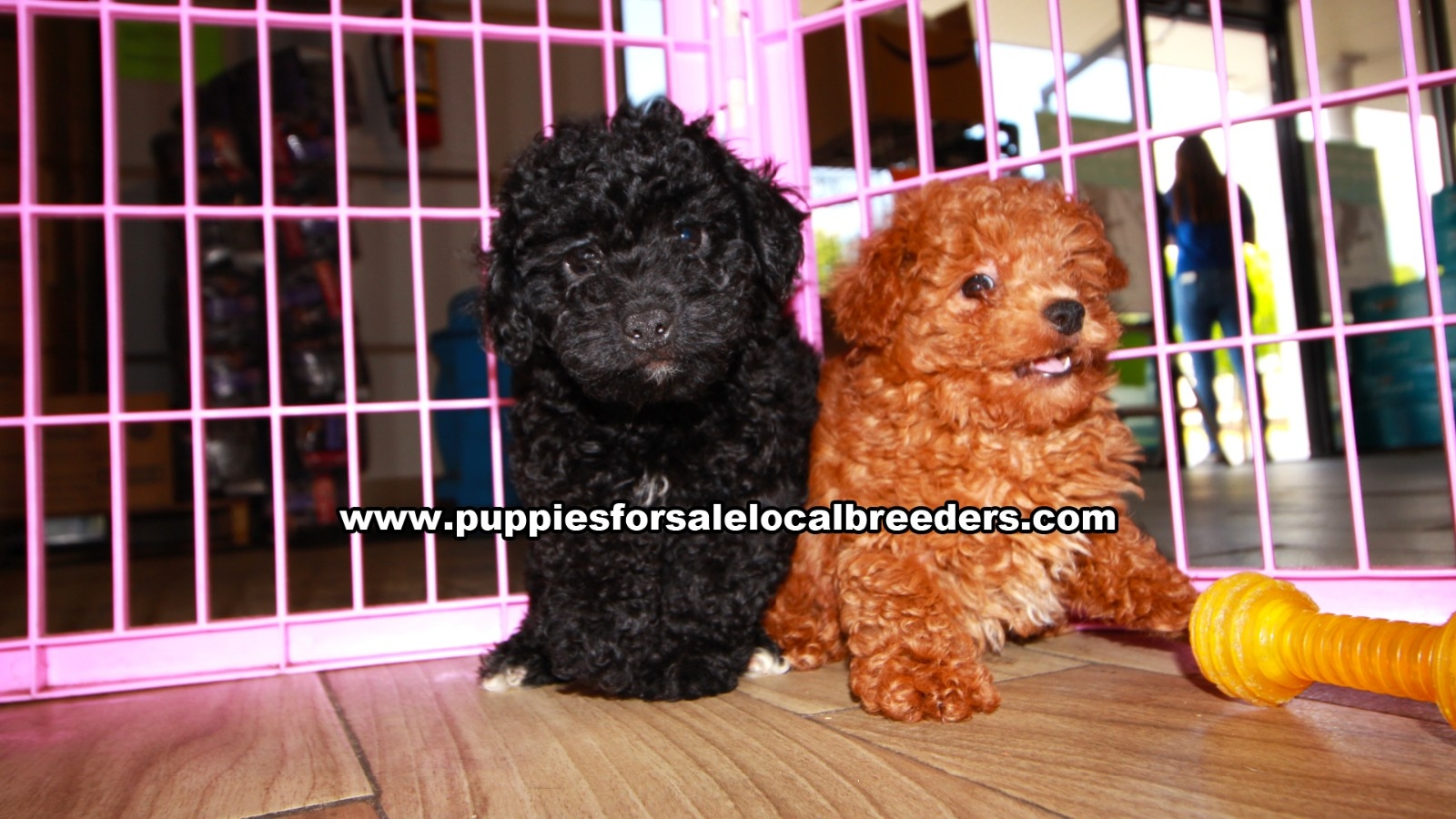 Poodle, Puppies For Sale In Georgia, Local Breeders, Near Atlanta, Ga