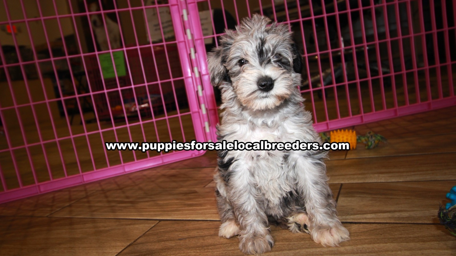 Schnoodle, Puppies For Sale In Georgia, Local Breeders, Near Atlanta, Ga