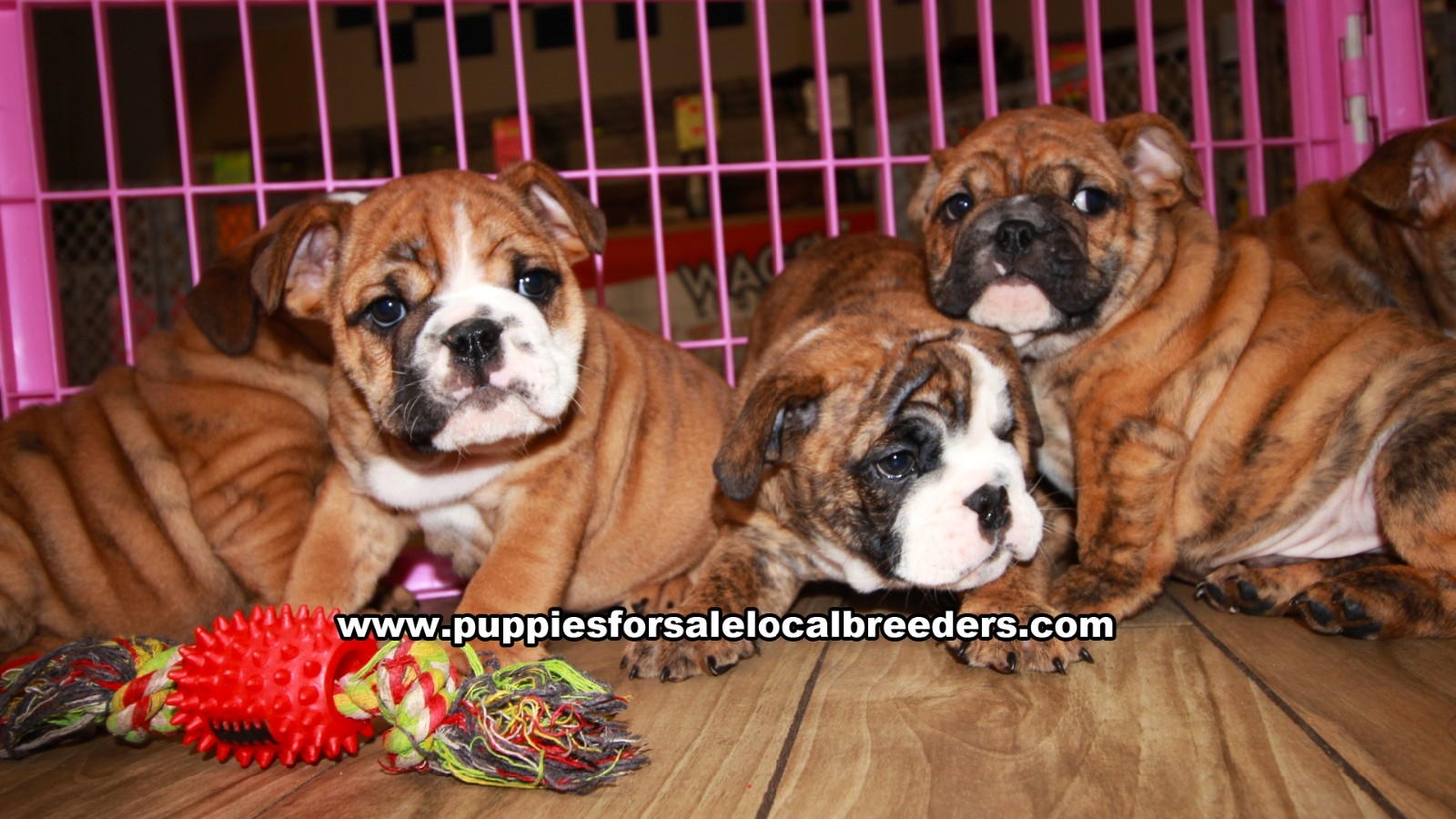 Brindle English Bulldog, Puppies For Sale In Georgia, Local Breeders, Near Atlanta, Ga